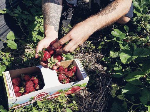 Cueillette de fraises sur l'Île d'Orléans, par Côté Hublot