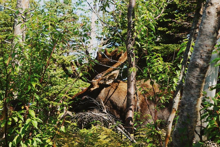 Rencontrer un orignal sur le sentier du Bout du Monde, au Cap Gaspé, par Côté Hublot
