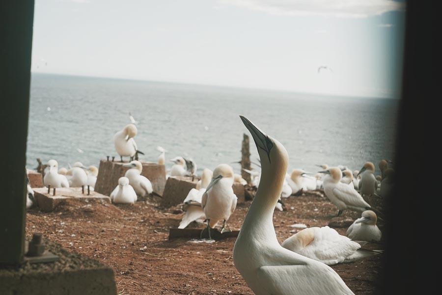 Les fous de Bassan de l'Île Bonavanture, par Côté Hublot