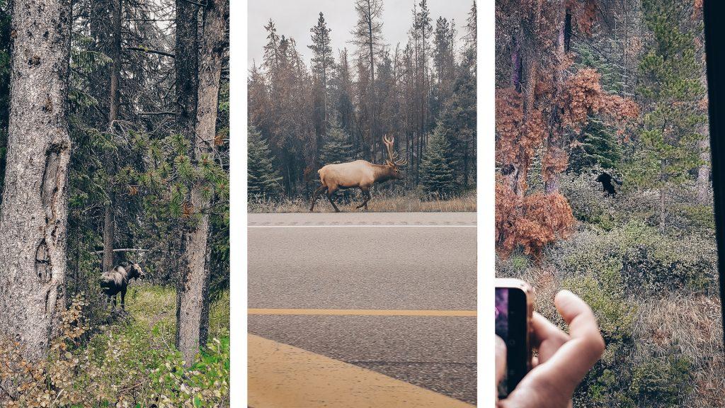Orignaux, wapitis, ours noirs sur les routes de l'Alberta